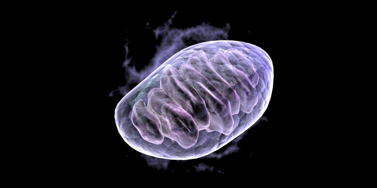 Berberyna aktywuje AMPK odpowiedzialną za produkcję nowych mitochondriów