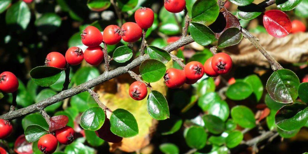 Berberys jest naturalnym źródłem berberyny