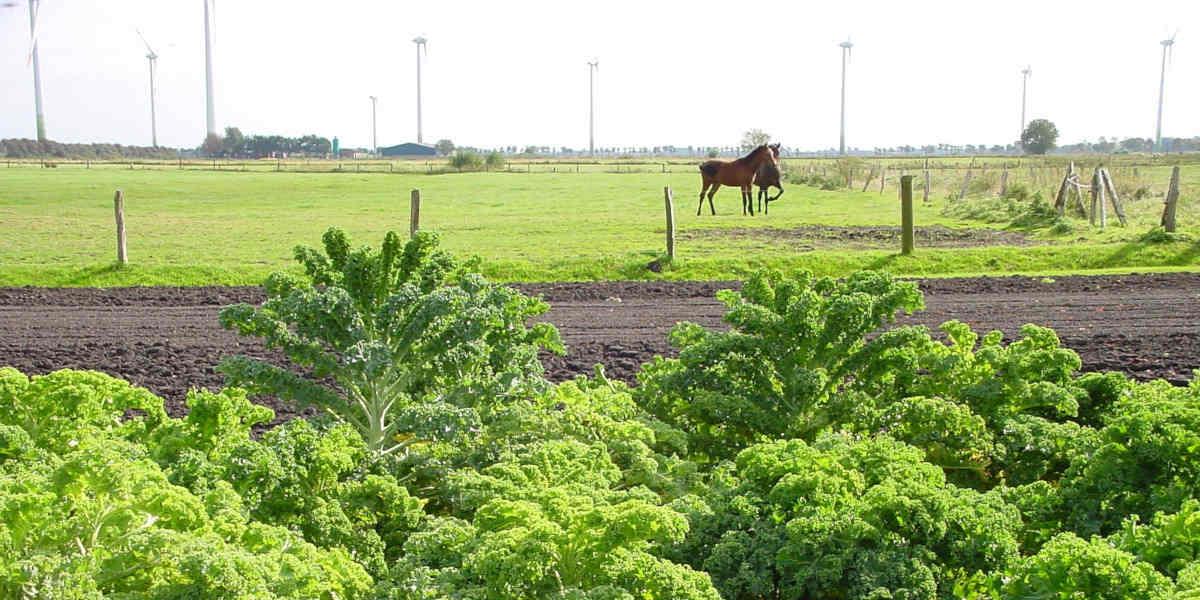 hodowcy jarmużu zaopatrują ludzi w naturalny folian