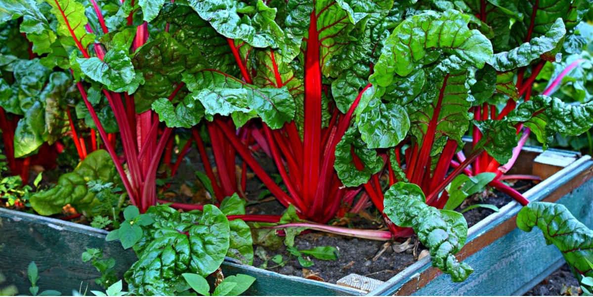 burak liściowy jest jednym z najlepszych zielonych warzyw z wysoką zawartością magnezu