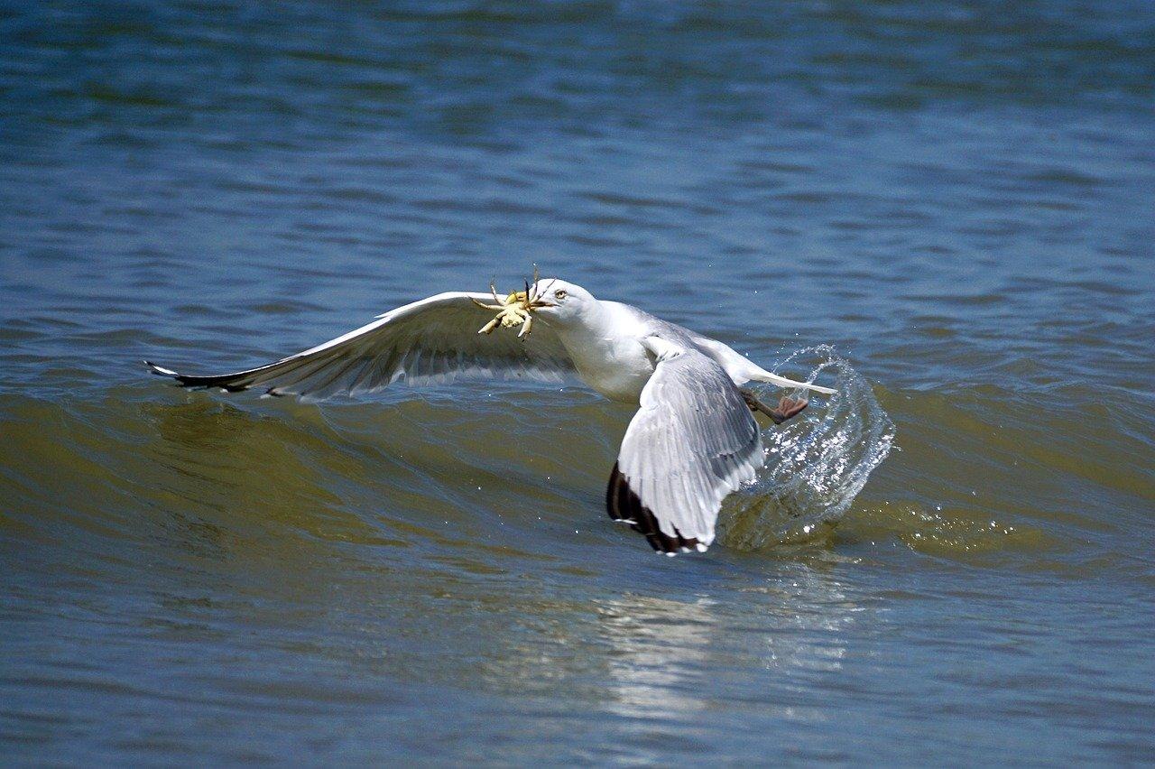 Ptak łapie kraba owoce morza